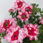 weiß-rosarot